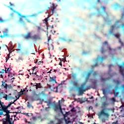 Krischblüte