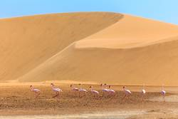 Flock of pink flamingo marching along the dune