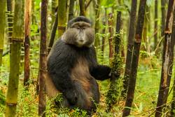 Rwandan golden monkey sitting in the middle of bamboo forest