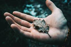 Close-up of a man's hand holding a dried leaf of quercus