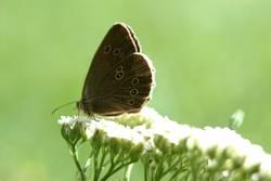 Schmetterling (auf Schafgarbe)