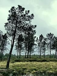 pinaceae II