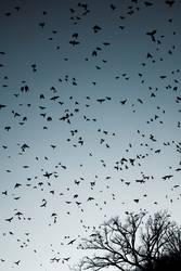 vogelschwarm III