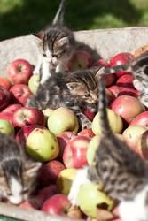 les chatons et les pommes .