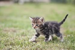 le petit chat .