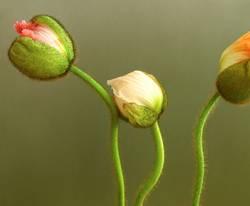 drei mohnblumen 2