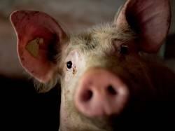 300 x Schwein gehabt!