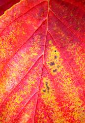 Verwandlung | Hamamelisblatt im Herbst