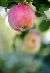 Jahreszeiten | Apfelzeit im Herbst