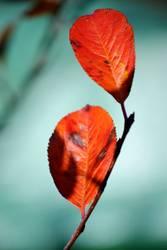 Blatt der Aroniabeere im Herbst