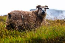 Isländisches Schaf im Hochland