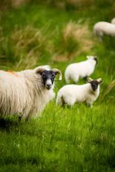 Das Schaf erblickt die Kamera