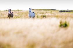 Islandpferde im Süden von Island