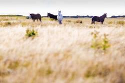 Islandpferde im Süden von Island II / II
