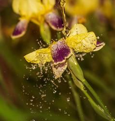 Eine Iris mal anders