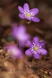 Farbenfrohe Leberblümchen