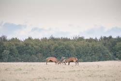 Red deer, Cervus elaphus, males fighting