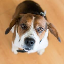 Beagle dog looking at camera