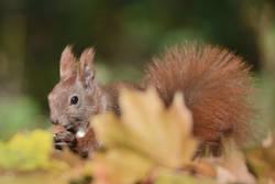 Herbsthörnchen