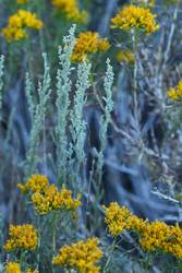 Sage and Goldenrod