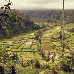 .Balis Reisfelder