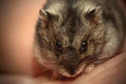 .evil Hamster