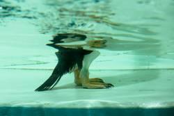 Pinguinitis