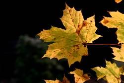 Goldener Herbst - schön im Sterben