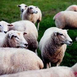 viele Schafe