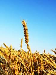 ear of grain