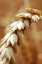 Weizen hautnah