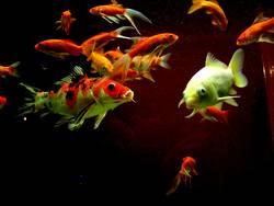 Alle meine Fischlein...