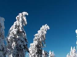 Tanne unter Schnee