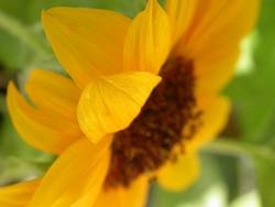 Sonnenblume (Closeup)