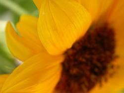 Sonnenblume (Extremer Closeup)