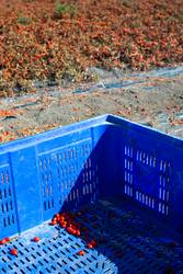Tomatoes that is for preservation. Harvest tomatoes.