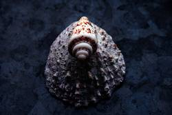shell and scallop
