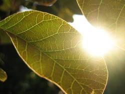 Sonnenblatt