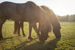 Two grazing Icelandic Horses on a green meadow in sunlight