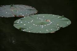 Pearls on Floating Leaves