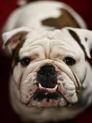 Englische Bulldogge (Marley)
