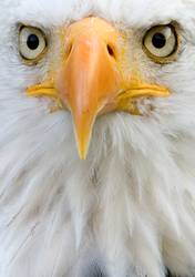 Detailed closeup portrait of an african fish eagle