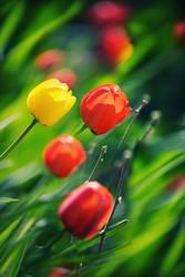 Tulpenfrühling