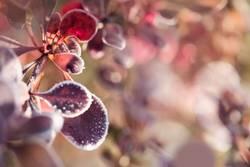 Kottoblätter gefrostet
