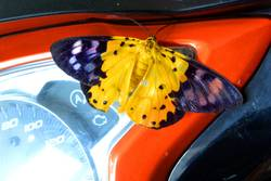 Butterfly Dysphania militaris on motorcycle dashboard