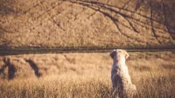 Golden Retriever schaut auf die Felder