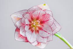 Blüte einer Lenzrose