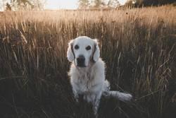 Golden Retriever im Feld