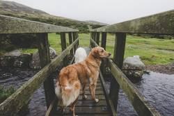 zwei Hunde auf einer Brücke im Dartmoor