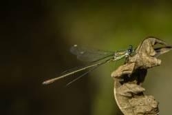 Libelle auf einem trockenen Blatt